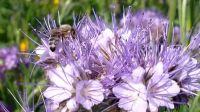 wildblumenbeet_06